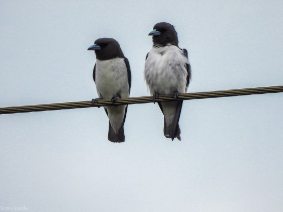 white breasted wood swallows huddle together for warmth...