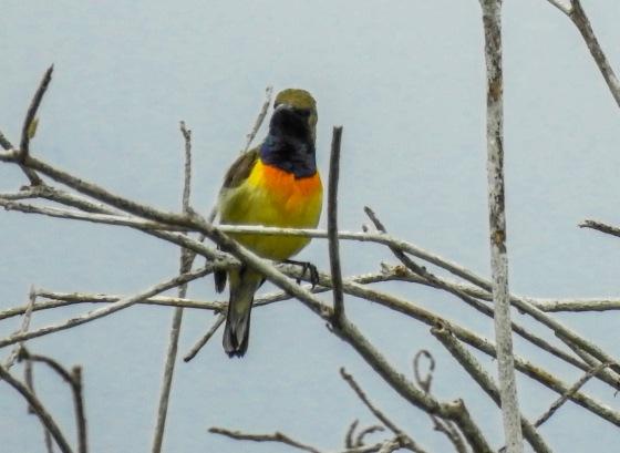 Male Palawan Olive backed sunbird