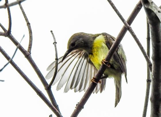 female Palawan olive backed sunbird preening