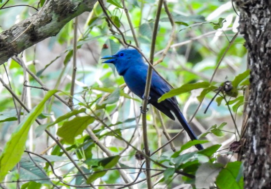 and just before we left the colony, we were thrilled to see this beautiful Palawan Blue Paradise Flycatcher...the male