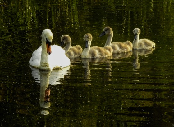 and there was mama swan with her 4 cygnets in tow..