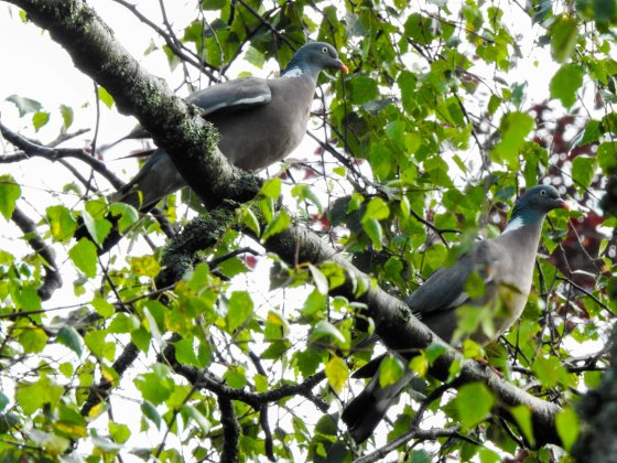 The woodpigeons are enormous!