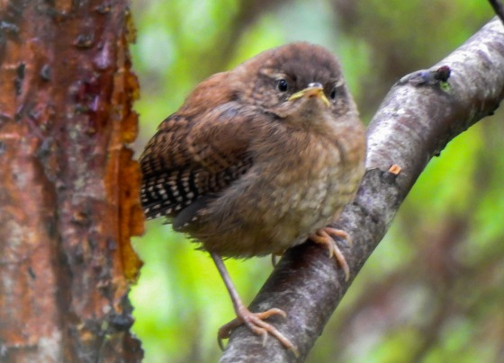 and this busy little fellow barely paused long enough for me to take this picture:  A Wren