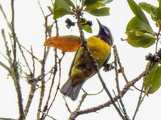 Orange belllied leaf bird at Jelai Resort