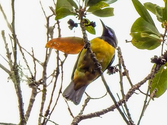 Orange belllied leaf bird at Jelai Resort