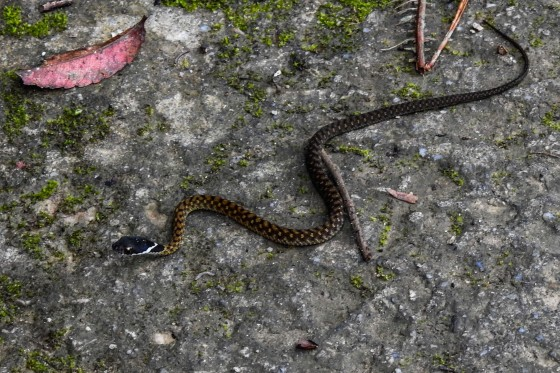 at Jeriau this beautiful white lipped black headed or speckled keelback appeared