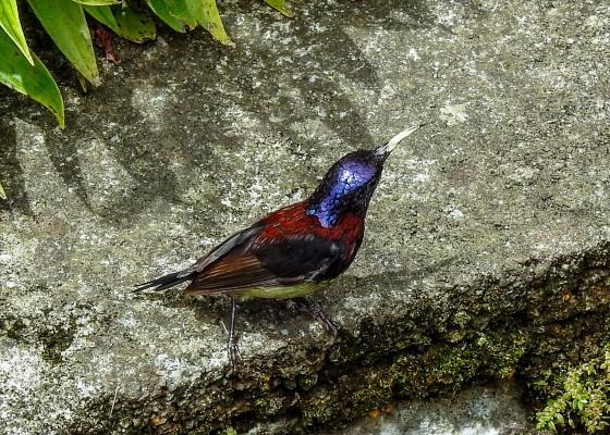 the multicoloured black throated sunbird...male