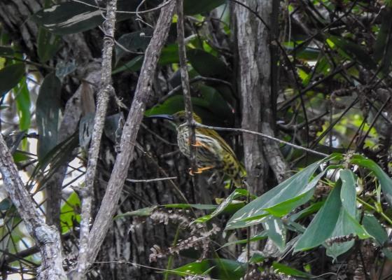 streaked spider hunter