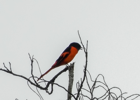 grey chinned minivet