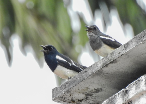 a pair of singing magpie robins