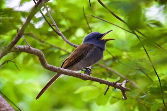 And Ces managed to shoot the female Palawan Blue Paradise Flycatcher! Looks a bit like the Mangrove Blue Flycatcher.  Courtesy of Ces Espiritu