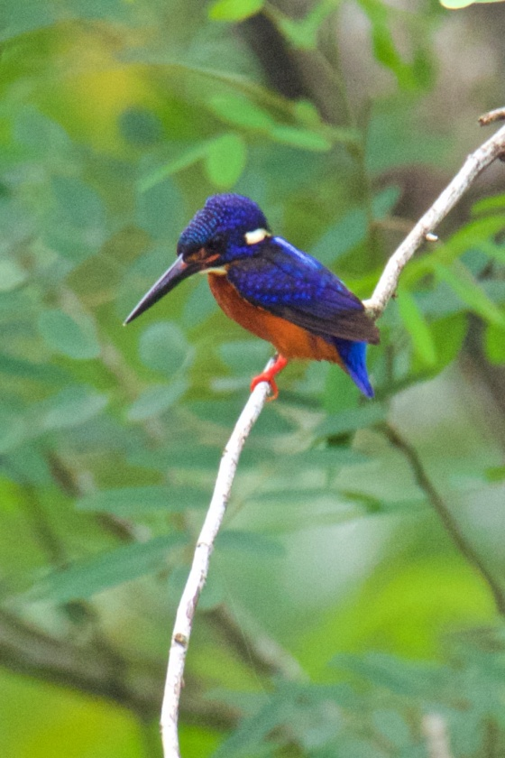 The Blue-eared Palawan Kingfisher finally appeared and perched for awhile...picture courtesy of Ces Espiritu
