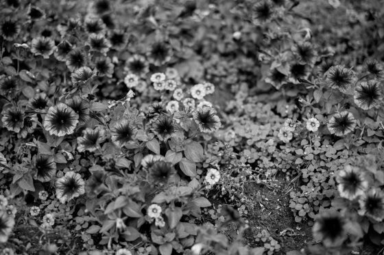 A bed of flowers in B&W