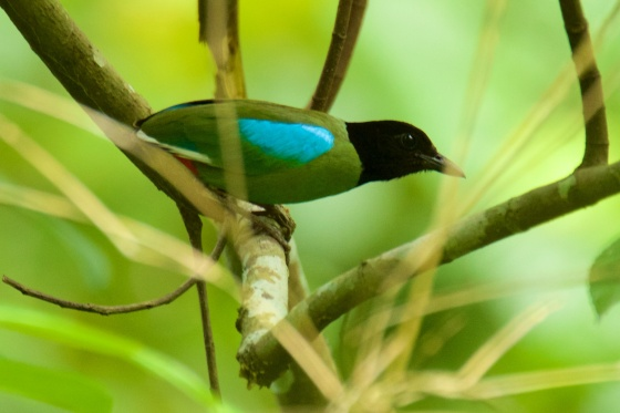 Hooded Pitta. Courtesy of C Espiritu