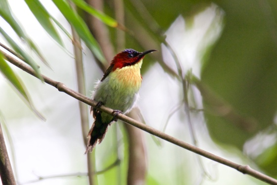 The absolutely delightful and delightfully named Lovely Sunbird.  Picture courtesy of Ces Espiritu