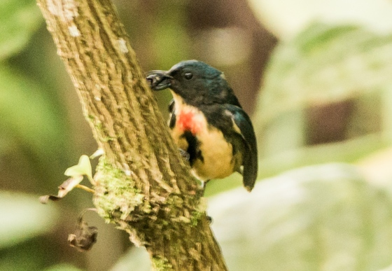 male fire bellied flowerpecker