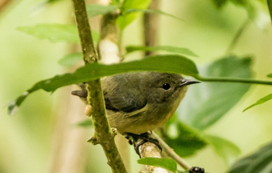female flowerpecker