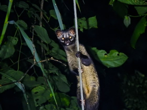 A palm civet!  Smaller than the masked palm civet that we had shot earlier in the garden....it was a beauty!