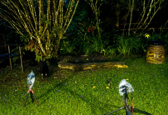 And at about 730pm just before it became completely dark, Bob the civet appeared on the left, triggering the first flash....