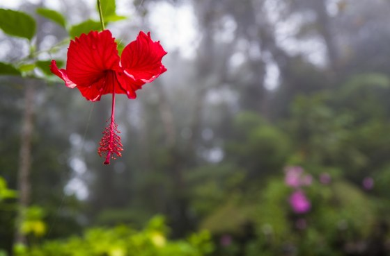 hibiscus..the national flower of malaysia