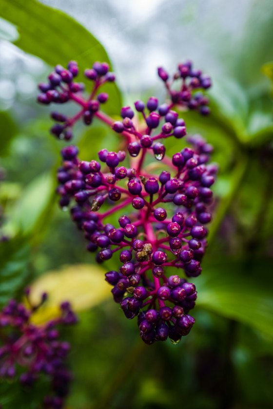 purple 'grapes' which attracted the fire belly flowerpeckers
