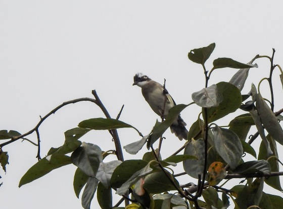 The first and probably most common sighting was the light vented bulbul..