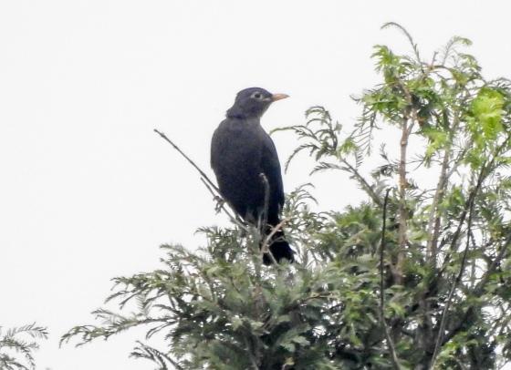 Eurasian Blackbird?
