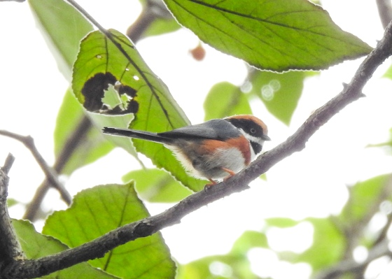 And my star bird of the morning was this endearing Black throated tit