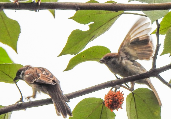 A pair of common sparrows?