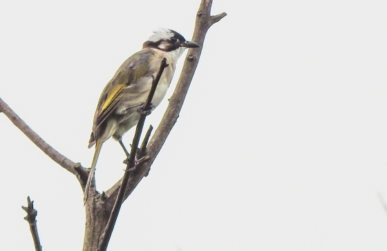 The light vented bulbul has interesting prinia like yellow markings on the wing