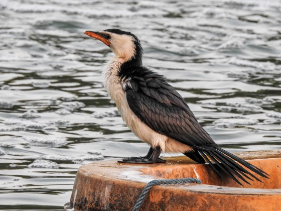 rather handsome pied cormorant