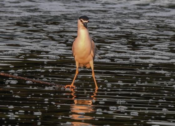 The usual water birds were present...Javan pond heron
