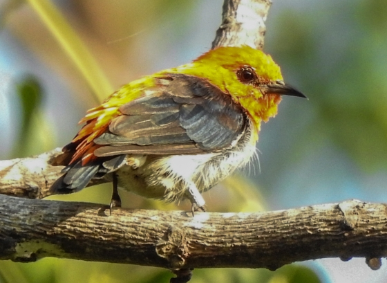 What was interesting was when the very same bird hopped and faced the sun, his head colour turned yellow! Like how the throats of the Anna Hummingbirds change colour in the sun!