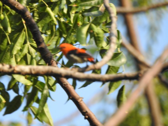 and then I saw this flash of red colour ...unfortunately the pic is very blurred but the red head can be made out....I think it was a red headed flowerpecker, endemic to Indonesia...
