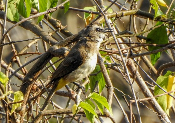 the yellow vented bulbul was common