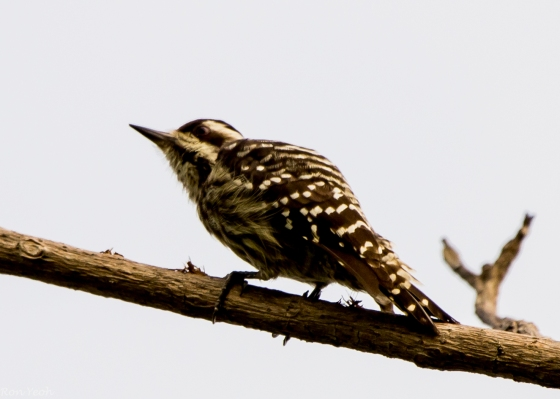 First bird I saw was this Sunda woodpecker in the trees by the bay...