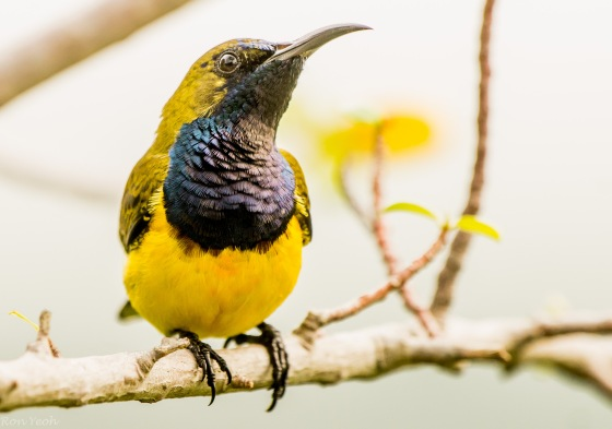 the throat of the olive backed sunbird looks black....until the sun catches it...then the multicoloured hues appear...