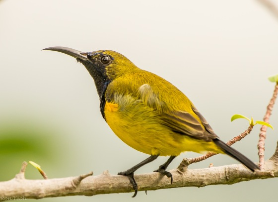 And just a little further along, I heard the tweets of a sunbird...and this male olive backed sunbird appeared