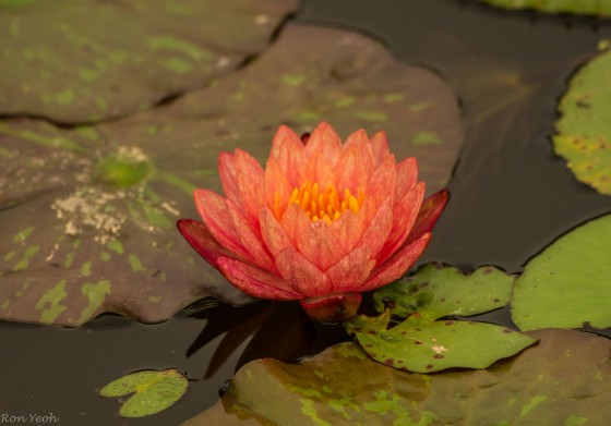 unusually orange coloured water lily