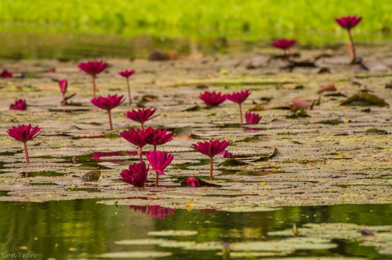 The water lilies were in every imaginable colour...here deep red...