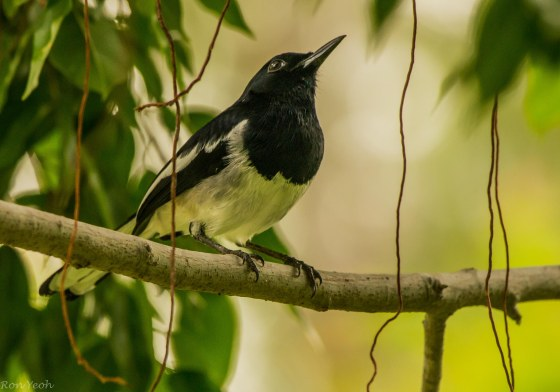 and in a tree nearby the magpie robin sang