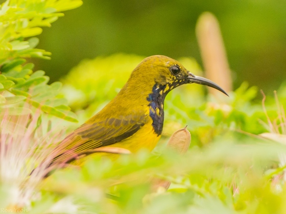 Here, another male olive backed sunbird appeared...