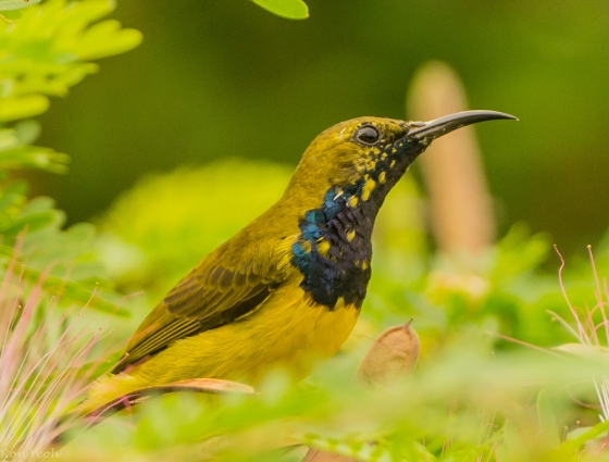with beautiful yellow speckling on his dark throat
