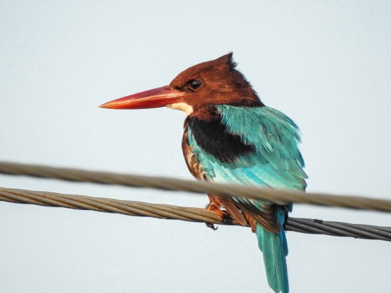 White throated kingfishers were common