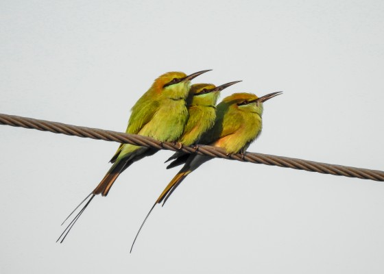 3 little green bee eaters side by side...