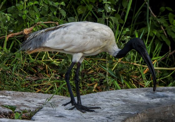 black headed ibis