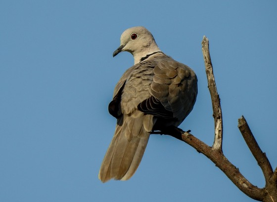 Coloured dove