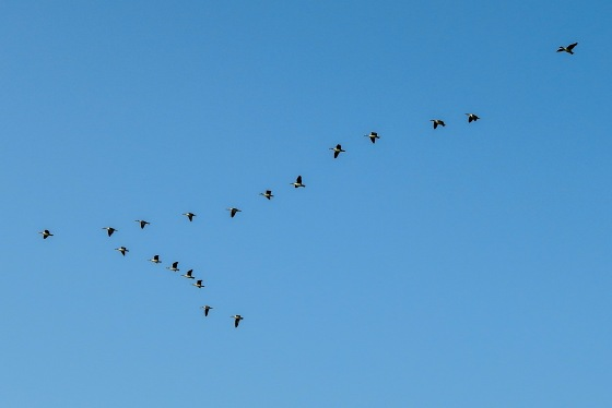 flight of comb ducks