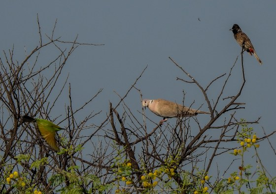 Bee-eater, collared dove and red vented bulbul in one tree