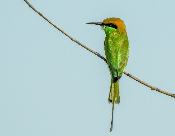 lots of beautiful bee eaters